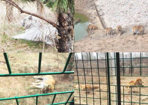 ホワイトタイガー・ライオン